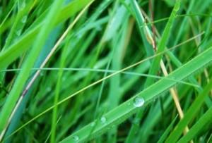 herbe fraiche